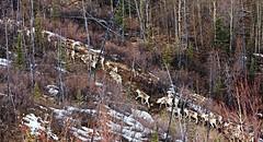 Caribou Migration - Alaska (JLS Photography - Alaska) Tags: alaska alaskalandscape caribo caribou caribouherd animals animal wildlife wilderness jlsphotographyalaska lastfrontier landscapes outdoor landscape forest