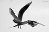 The Chase (Afraz Anosh) Tags: gull seagull blackheadedgull birds deira dubai creek bif birdsinflight birding nature wildlife blackandwhite