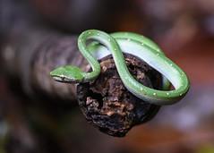 DSC_3938 (olyaterekhova) Tags: nature singapore snake bukit timah