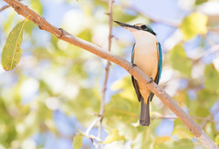 A Sacred Kingfisher (christinaportphotography) Tags: sacredkingfisher todiramphussanctus kingfisher pinecreek northernterritory nt australia bird birds wild free bokeh focus light dof