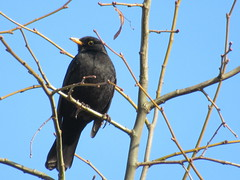 22/1/2017, 22/365, Enjoying the view IMG_2152 (tomylees) Tags: january 2017 22nd sunday braintree essex project 365 blackbird