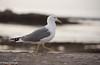 Yellow-legged Gull  /Medelhavstrut (Larus Michahellis) (Hans Olofsson) Tags: 2016 essaouira marocko morocco medelhavstrut larusmichahellis adult yellowleggedgull