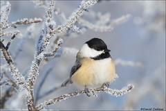 Black-capped Chickadee on Hoar Frost (Daniel Cadieux) Tags: chickadee blackcappedchickadee frost hoarfrost winter cold snow ottawa