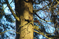 listening, Sciurus vulgaris 1, on Metasequoia glyptostroboides (Fabio.Buoso) Tags: sciurus vulgaris scoiattolo europeo