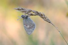 Wiesenvögelchen (rudolfaurnhammer) Tags: natur tiere insekten schmetterlinge falter wiesenvögelchen makro morgentau