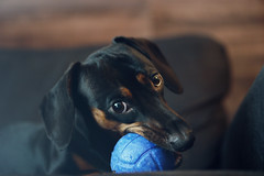 My new toy... [explored] (ricdovalle) Tags: brinquedo toy cachorro dog bola azul blue ball daschund salsicha sausage sony alpha a6000 sel50f18 50mm ilce6000 animal