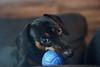 My new toy... [explored] (ricdovalle) Tags: brinquedo toy cachorro dog bola azul blue ball daschund salsicha sausage sony alpha a6000 sel50f18 50mm ilce6000 animal