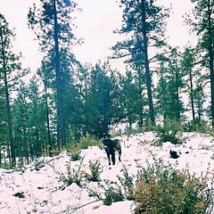 Addie in the snow-Prescott. AZ-Dec 2016 (Service.dog.addie) Tags: prescottaz arizona prescott fun play beautiful trees landscape winterlandscape winter snow mixedbreed bordercolliemix bordercollie mutt labmix blacklab labradorretriever retriever labrador blackdog servicedog dog