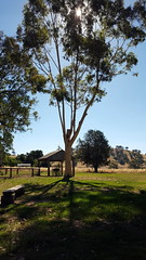 Resting in the shade under the gum trees at Gundagai