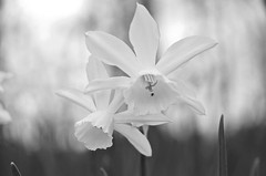 Lily bugged (Pejasar) Tags: bw blackandwhite lily bloom double two insect bug white garvanwoodlandgardens hotsprings arkansas