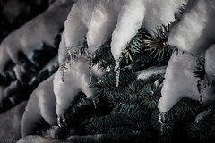 Frozen fingers (Anthony P26) Tags: category eskisehir nightscenes places snow turkey yunusemrecampus tree pine ice icy frozen outdoor narrowdepthoffield dof narrowdof icicle flakes canon70d canon1585mm canon macro macrodreams