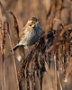 Reed Bunting (trevorwilson1607) Tags: bunting reed avian wildlife marsh coastal reeds perched