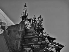 "NEPAL, Kathmandu,  Stupa von Swayambhunath, 15140/7835 (roba66) Tags: affe primate baboon monkey ape apes monkys affen tiere animals reisen travel explore voyages urlaub visit roba66 nepal asien südasien asia city stadt capitol kathmandubefore earthquake ""stupa von swayambhunath"" stupa swayambhunath tempel tempelanlage building architektur architecture arquitetura kulturdenkmal monument bau fassade façade platz places historie history historic historical geschichte urban blackwhite bw sw branco negro blackandwhite blancoenero blancoynegro monochrome byn bretoebranco einfarbig schwarzweis"