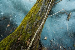 Frozen Pond with Log and Moss [seen in Explore] (thefisch1) Tags: moss green log floating ice tree stump fallen cold kansas flint hills wood stick trunk water nikon nikkor 1424