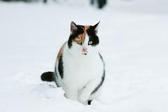 (nettisrb) Tags: katzen katze cat chat snow schnee winter
