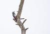 Suur-kirjurähn, Dendrocopos major, Great Spotted Woodpecker (Blog: Foture.blogspot.com) Tags: estonia great spotted woodpecker pied greater rähn kirjurähn dendrocopos major picoides