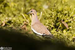 White-winged Dove (Kenlysoto_photography) Tags: dove pigeon birding bird eye feathers wings white naturaleza nature ave paloma puertorico green animal wildlife fauna tamron 70300mm nikonist nikon d3200
