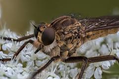 Raubfliege (Asilidae) auf einer Doldenblüte (AchimOWL) Tags: raynox fliege raubfliege zweiflügler makro macro insekt insekten natur gx80 panasonic lumix wildlife schärfentiefe tier outdoor fly ngc macrodreams