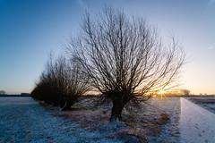 Sunrise today (martinstelbrink) Tags: sunrise sonnenaufgang winter willow weide niederrhein nrw nordrheinwestfalen germany snow ice schnee eis morning morgen sun sonne kopfweide sony alpha7rii a7rii voigtländervmeclosefocusadapter voigtländerheliar15mmf45iii voigtlanderheliar15mmf45iii voigtländer voigtlander heliar 15mm f45 standardrunde standardwalk