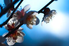 profile (N.sino) Tags: sd15 foveon 70mmmacro sigma plam profile 梅 横顔 春 梅の花 神代植物公園
