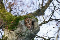 Waldkauz / tawny owl / Strix aluco (Bernd Götz) Tags: sonya7riisigmamc11150600 sigma150600contemporary waldkauz nymphenburgerpark