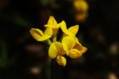 Wild Flower (Hugo von Schreck) Tags: hugovonschreck flower blume blüte wildblume wildflower macro makro canoneos5dsr yourbestoftoday tamronspaf180mmf35dildifmacro11