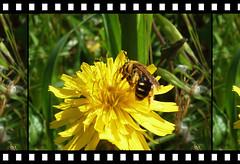 Tornerà la primavera.. (antonè) Tags: tarassaco dandelion dentedileone ape fiore insetto desulo sardegna antonè