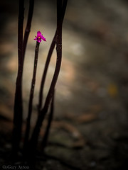 "wild orchid • <a style=""font-size:0.8em;"" href=""http://www.flickr.com/photos/44919156@N00/32510789972/"" target=""_blank"">View on Flickr</a>"