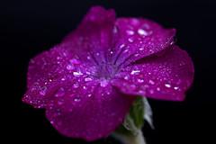 Happy wet Thursday - Rose Campion (delopafoto) Tags: water rain rose drops regen kronen silene campion coronaria lichtnelke colourartaward delopafoto