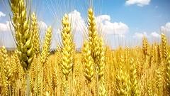 maturazione (maresogno67) Tags: estate campo grano maturità spighe