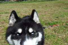 .. (adamrbyrne) Tags: blue dog pet white black green face grass animal eyes husky wolf ears leash lead pointed
