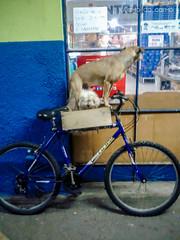 Bicycle dog (docarmo.juliano@yahoo.com.br) Tags: brazil dog love bike bicycle brasil speed drive fast samsung furious racer
