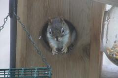 Red Squirrel at Birdfeeders (Saline, Michigan) - June 10, 2015 (cseeman) Tags: squirrel michigan birdfeeder feeder perch hungry saline redsquirrel squirrelfeeder redsquirrel06102015