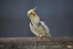 35. Cockatiel / Попугай Корелла