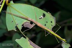 Stick insects mating (Phasmatodea) - DSC_0835 (nickybay) Tags: macro insect singapore mating stick phasmid phasmatodea phasmida durianloop