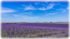 AL-Lavande-Valensole-20150626-011.jpg (Shoot Enraw) Tags: champs provence 26juin lavandes valensole 18200mmf3556 1116mmf28