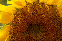 Bee's Fave (TPorter2006) Tags: brown flower field yellow golden texas july sunflower hillsboro 2015 aquilla tporter2006