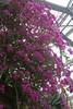"Bougainvillea glabra - Botanischer Garten Berlin • <a style=""font-size:0.8em;"" href=""http://www.flickr.com/photos/25397586@N00/19767913825/"" target=""_blank"">View on Flickr</a>"