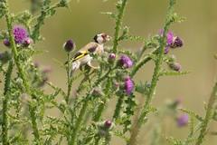 DSC_7163 Putter mn : Chardonneret eleganz : Carduelis carduelis : Stieglitz : Eurasian Goldfinch