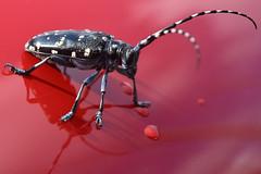 20150622_003_3 (まさちゃん) Tags: 虫 カミキリ カミキリムシ