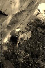 Belle-Epoque 2015 (MrTDiddy) Tags: male cat mammal zoo big kat feline leo african lion bigcat belle antwerp antwerpen zooantwerpen grote nestor leeuw panthera belleepoque mannelijk epoque zoogdier afrikaanse grotekat