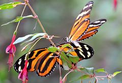 heliconius ismenius -oasi S.Alessio (Roberto Gramignoli) Tags: heliconiusismenius oasisalessio farfalle insetto insetti coppia volo animali insect butterflies