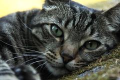 Cat Eyes (EmmanuelleFerron) Tags: pet cute nature face cat fur mammal eyes furry shot head kitty fluffy headshot whiskers