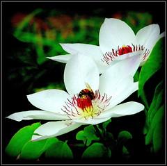 Natural Wonder (dimaruss34) Tags: newyork brooklyn dmitriyfomenko image flower clematis