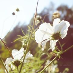 Ephémères (Love-is-wonderful) Tags: fleurs flowers jardin garden cosmos white blanc lumière light automne autumn carré square sun soleil ensoleillé sunny