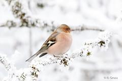 Buchfink 8 (rgr_944) Tags: vögel vogel bird oiseau tiere animaux animals natur outdoor rgr944 canoneos80deos7dmk2