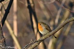 Pettirosso (Luigi131160) Tags: pettirosso erithacusrebecula nikond7200 sigma500mmf45exhsm passeraceo birds robin