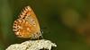 Polyommatus coridon ♀ (KOMSIS) Tags: kelebek butterfly schmetterlinge papillon metulj motyl motýlech motýl motýlů fluture borboleta pillangó päiväperhonen perhonen päiperlek papallona farfalla mariposa féileacán leptir vlinder bábochka бабочка πεταλούδα kəpənək көбелек пеперутка animal animalia arthropoda insecta lepidoptera lycaenidae polyommatini polyommatus coridon thechalkhillblue çokgözlüçillimavi outdoor serene field landscape flower plant blossom greeny pattern texture macro minimalism nature wildlife visipix ngc buzznbugz insect nikon nikondigital nikond700 sigma 150mm os catchy catchycolors conbướm colors colorful bright brilliant wow lighting