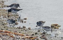 Least sandpipers (carpingdiem) Tags: birds saltonsea waterbirds winter