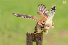 Peneireiro Vulgar, Common Kestrel (Falco tinnunculus) (xanirish) Tags: peneireirovulgar commonkestrelfalcotinnunculusnunoxavierlopesmoreira ngc wildlife nuno xavier moreira liberdade selvagem birds aves uk